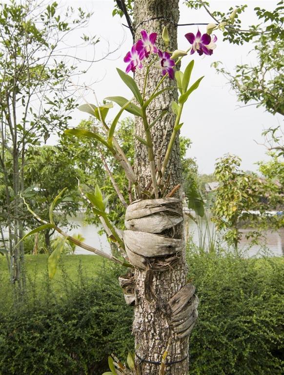 orquidea-em-arvores