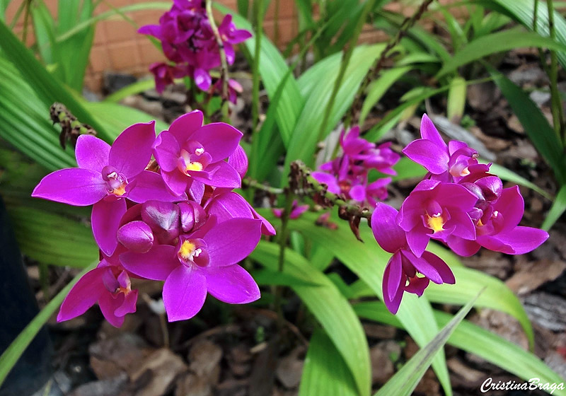 orquidea-grapete