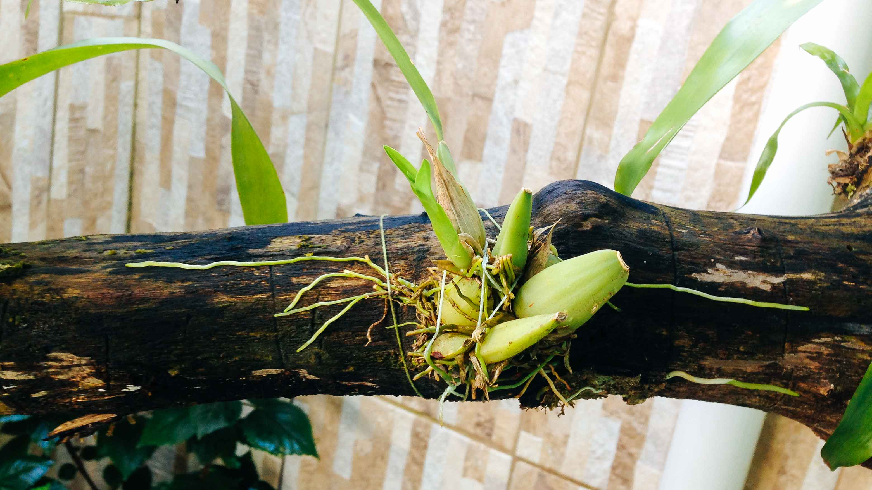 orquidea-no-tronco1