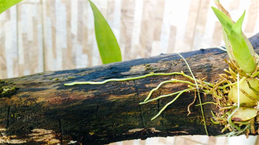 orquidea-no-tronco2