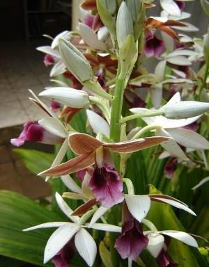 orquidea phaius