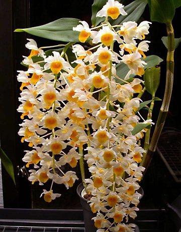 orquidea-rara