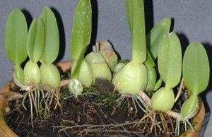 orquidea-rizoma