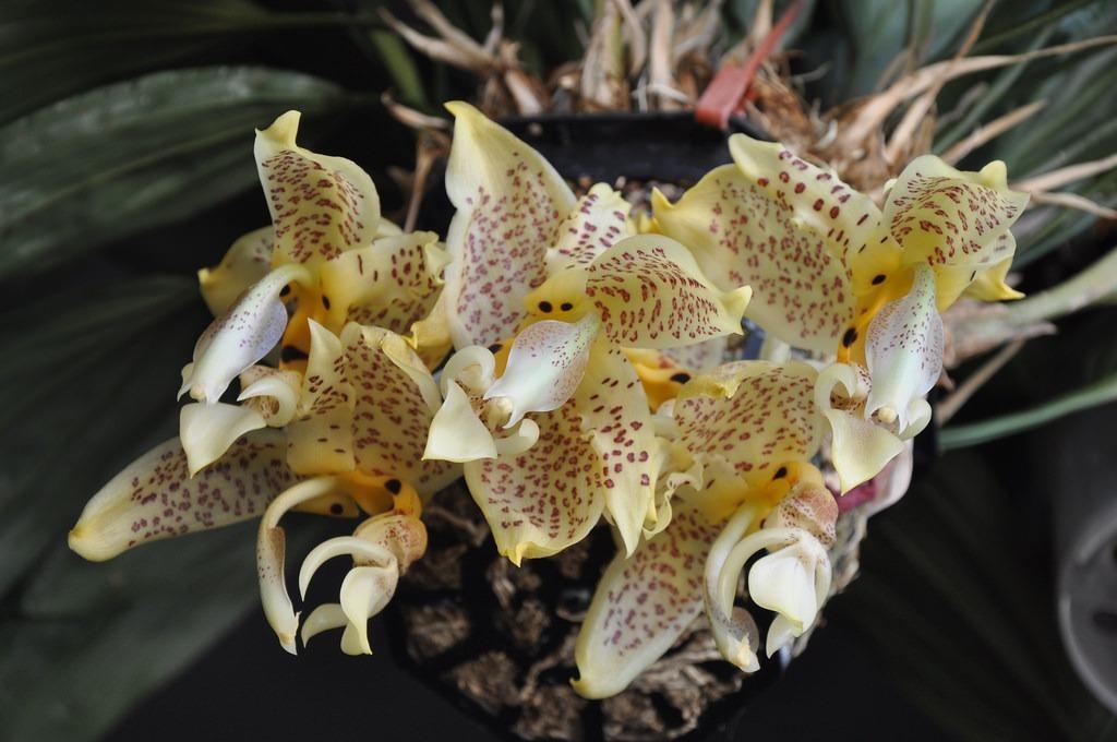 orquidea-stanhopea