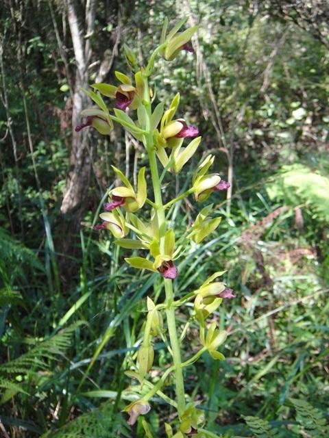 orquidea terrestre1 (2)