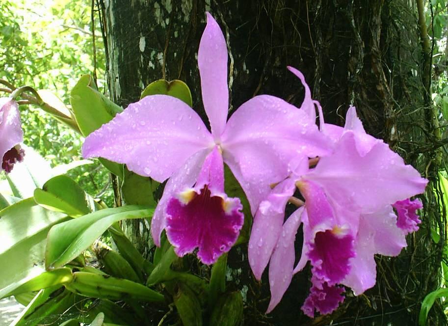 orquidea-uruburetama