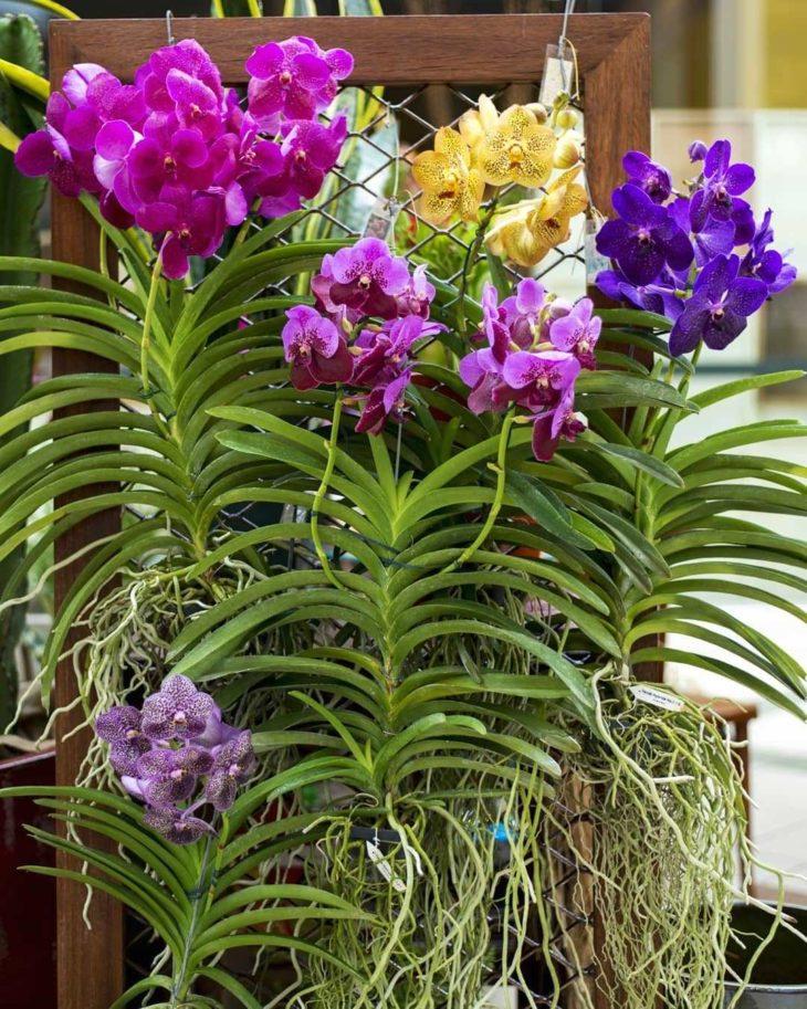 orquidea-vanda-22