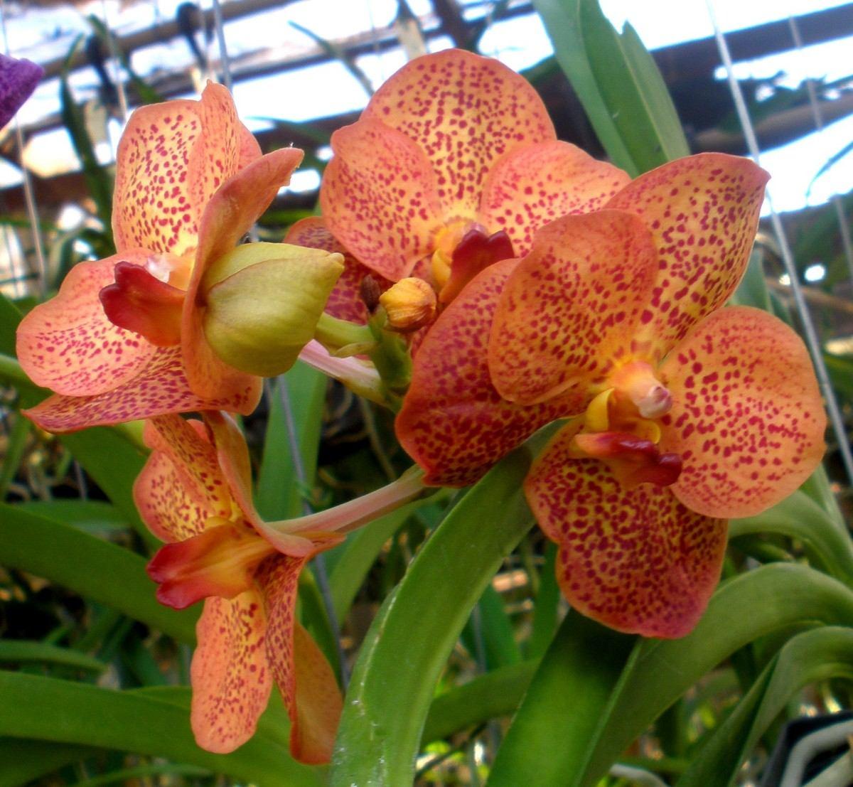 orquidea-vanda