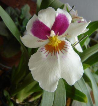 orquidea_miltonia