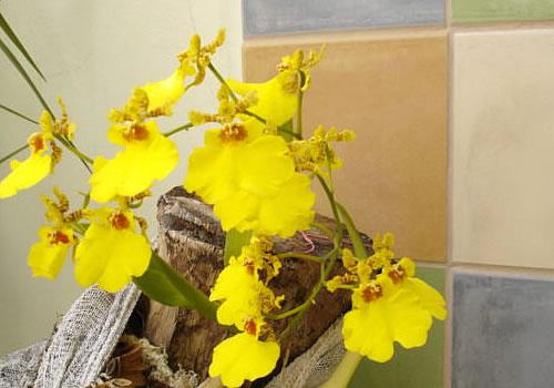 orquidea_oncidium_flores_amarelas
