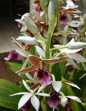 orquidea_phaius_tankervilleae