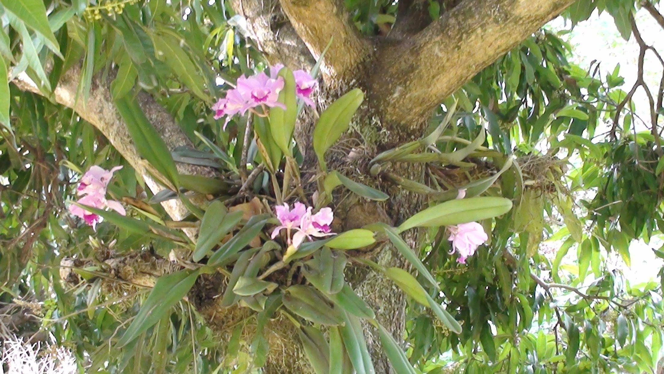 orquideaemtronco