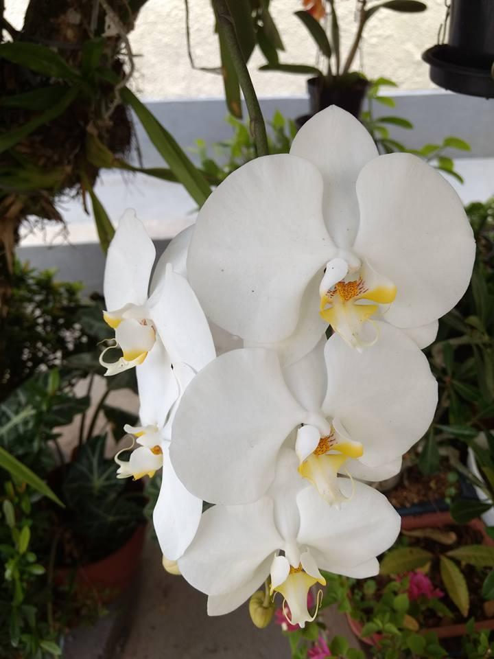 orquideaphalaenopsis