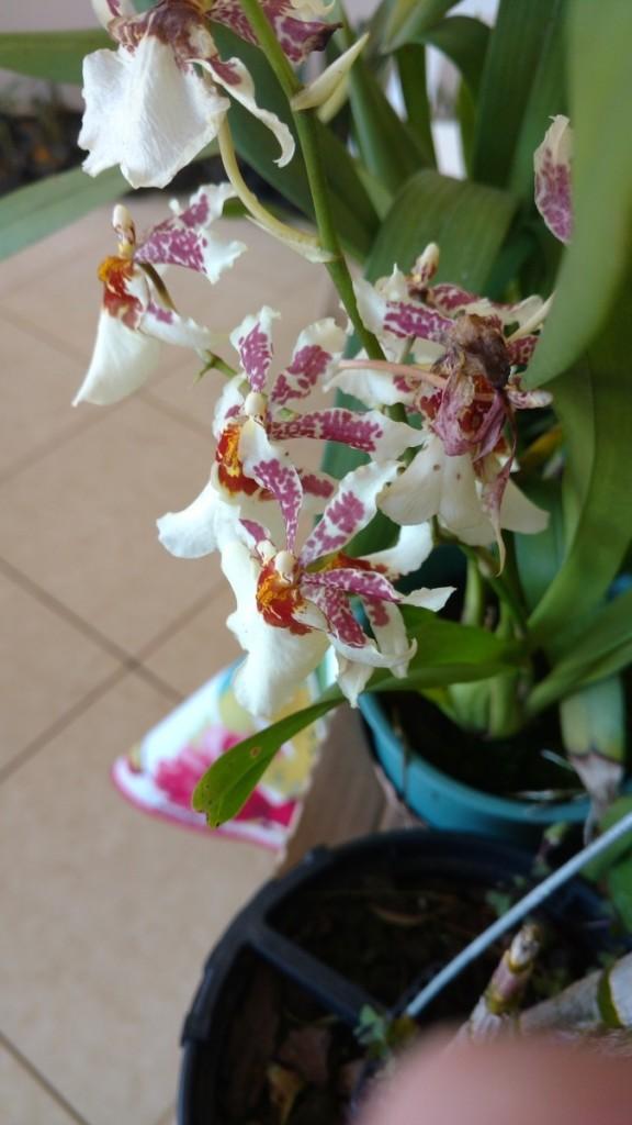 orquideas-oncidium
