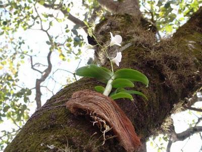 orquideas-plantadas-em-arvores fibradecoco-06