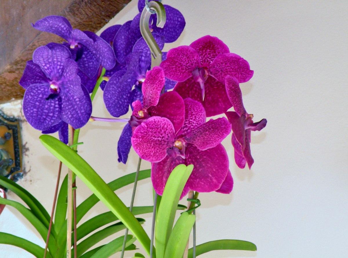 orquideas-vanda-F