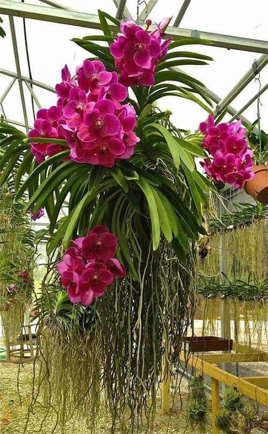 orquideas-vandas-12