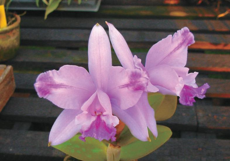 orquideawalqueriana