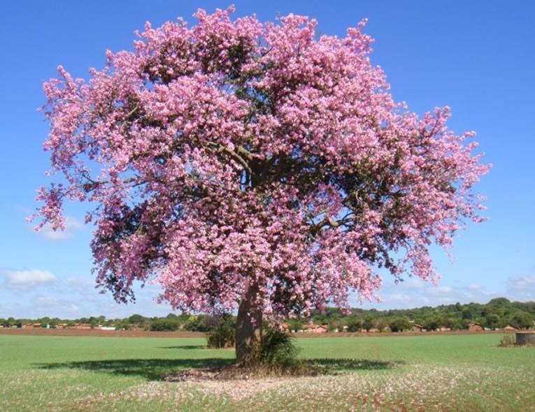 paineira-rosa