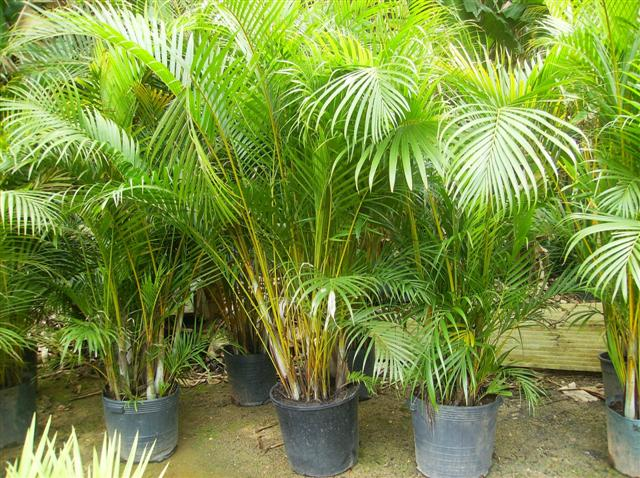 palmeira (Small)