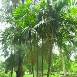 palmeira-de-macarthur