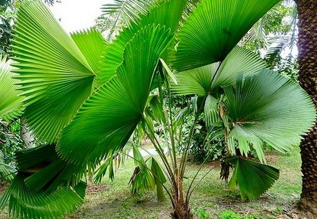 palmeira-leque