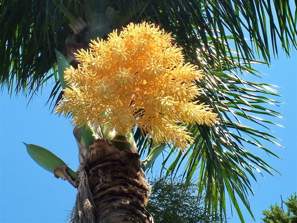 palmeira-rabo-de-raposa-2