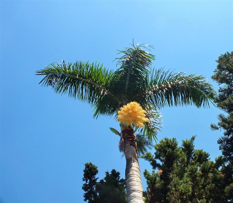 palmeira-rabo-de-raposa