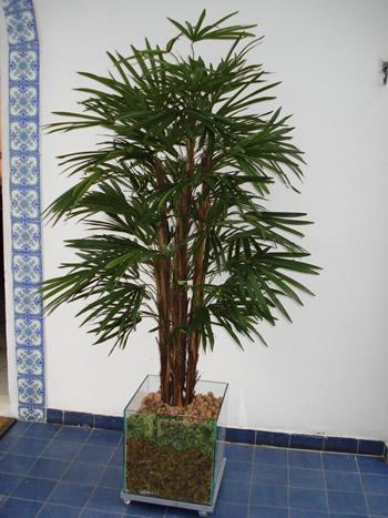 _palmeira raphis