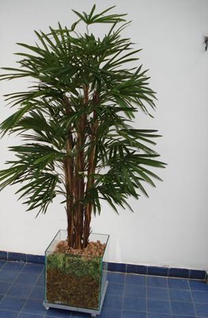 palmeira-raphis