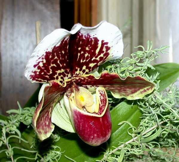 paphiopedilum, orquidea sapatinho