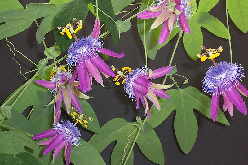 Maracujá - passiflora-loefgrenii-corupa