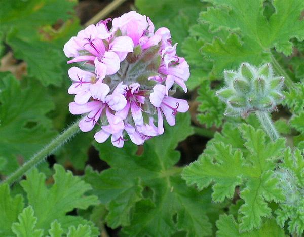 pelargonium-crispum