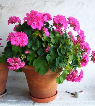 pelargonium hortocorum