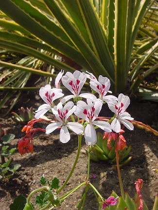 pelargonium_echinatum
