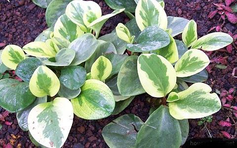 peperomia-magnoliifolia-variegata