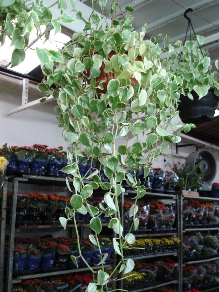 peperomia-pendente variegata