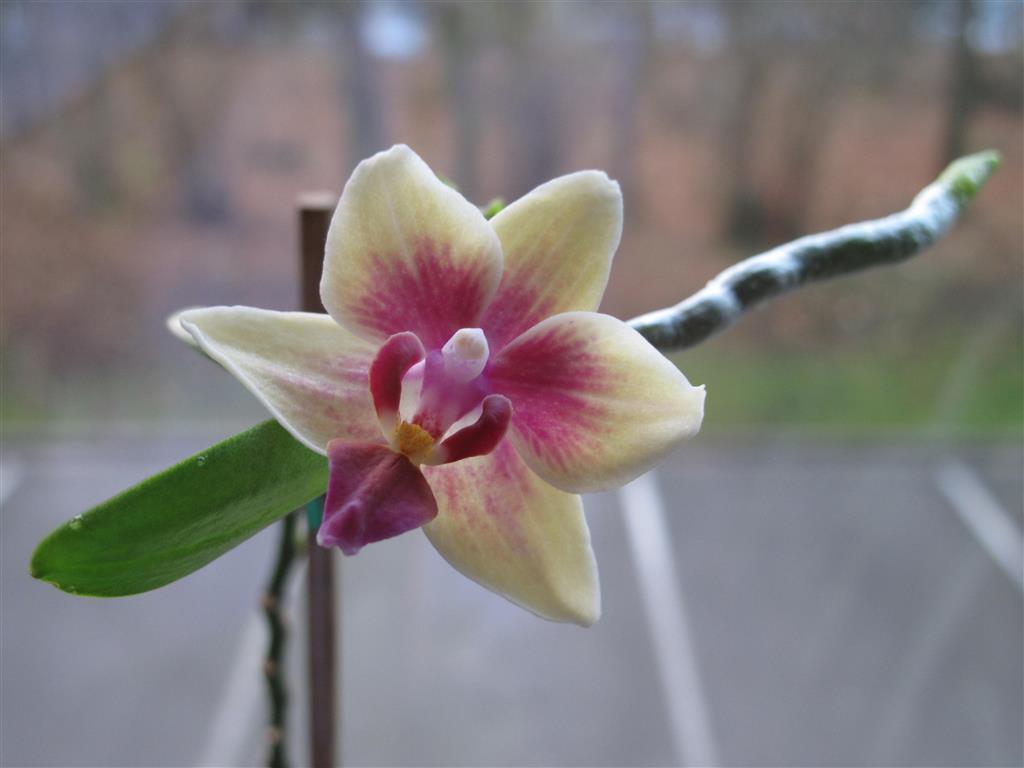 pequena-orquídea