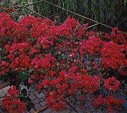 pergola-planta-trepadeira