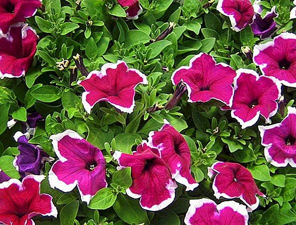 petúnia grandiflora