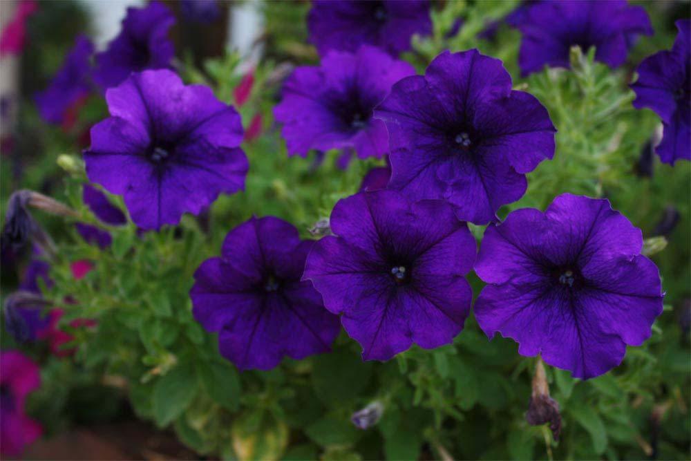 Dicas plantasonya o seu blog sobre cultivo de plantas for Petunie inverno