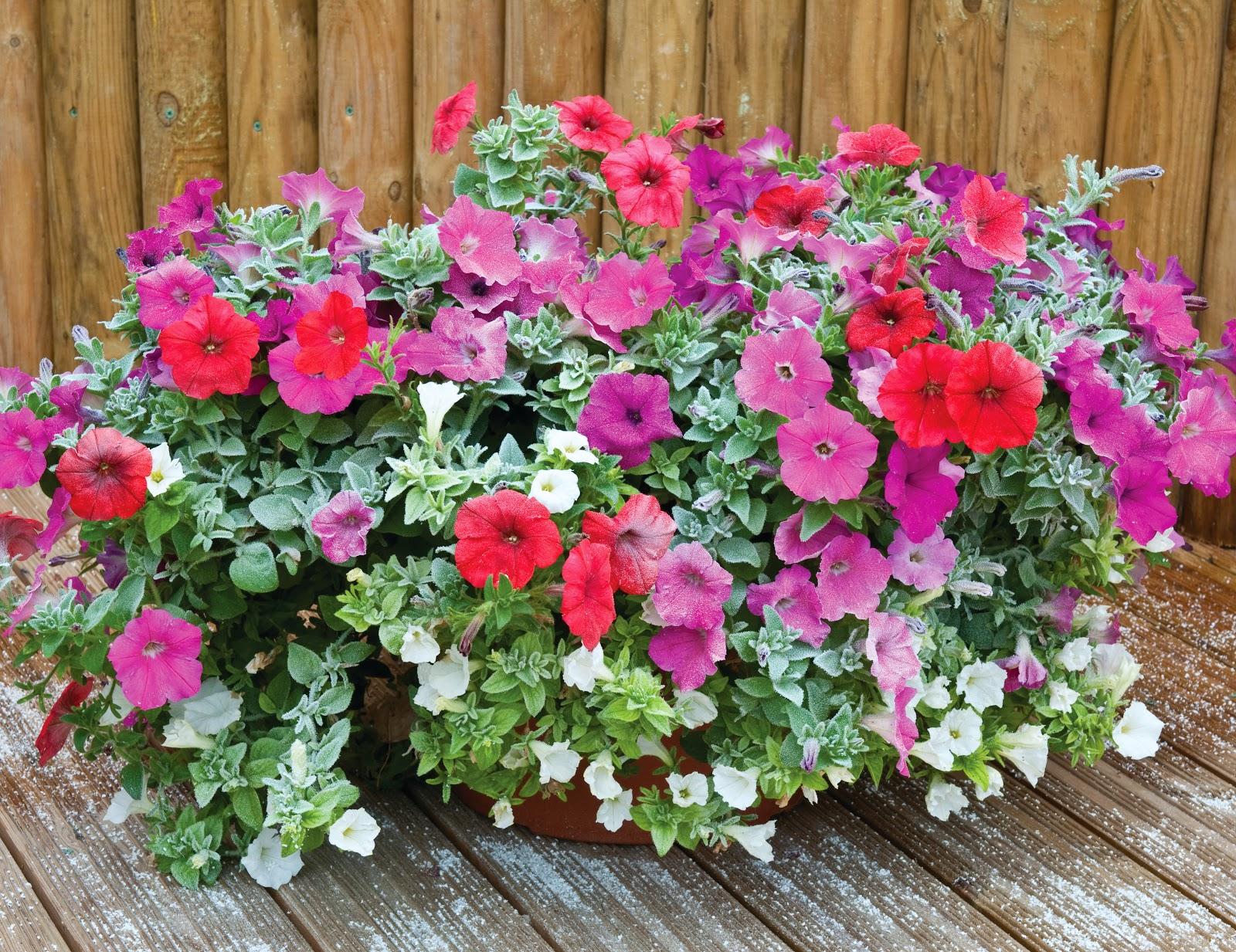 Cuidados  PlantaSonya  O seu blog sobre cultivo de plantas e