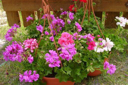 Tipos de Gerânios  PlantaSonya  O seu blog sobre cultivo de plantas