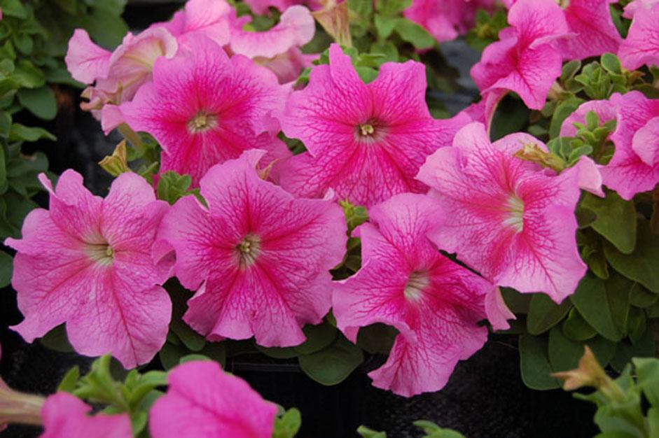 petunia Grandiflora