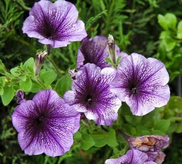 petunia Hedgiflora