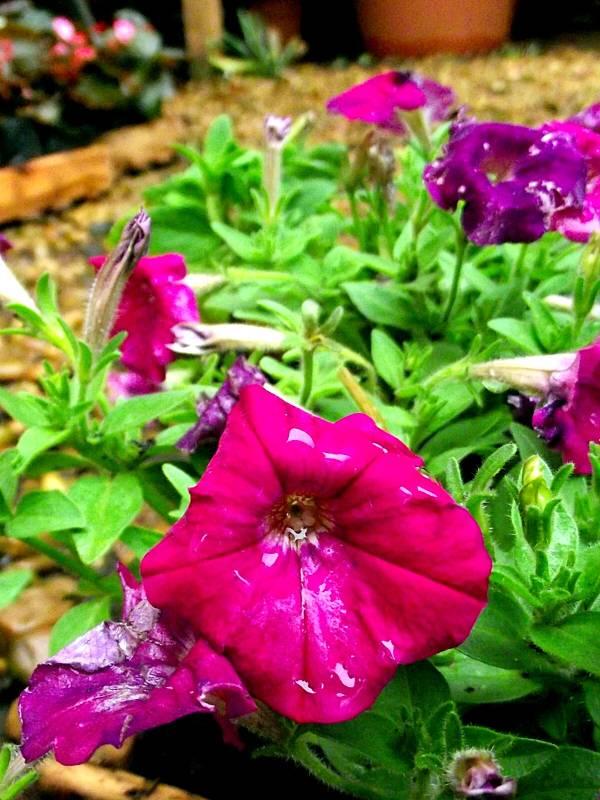petunia-flor