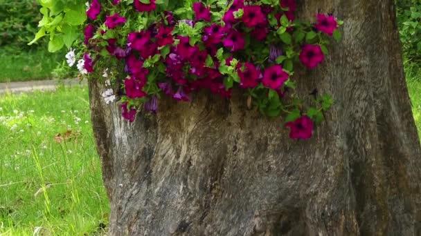petunia-integrifolia-as