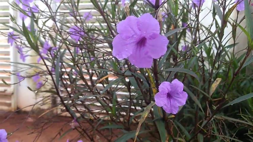 petunia mexicana (Small)