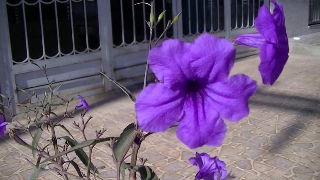 petunia mexicana_33