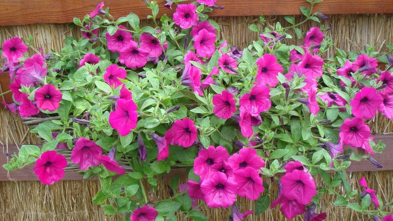 petunias-no-jardim